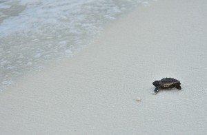 A Loggerhead Turtle hatchling, Niceville FL