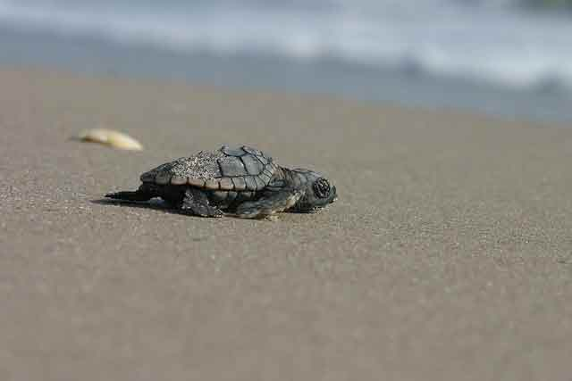 sea turtle hatchling niceville