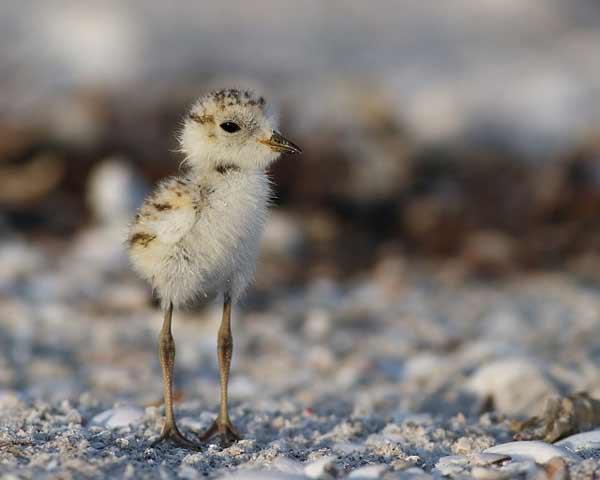 snowy plover chick niceville northwest fl