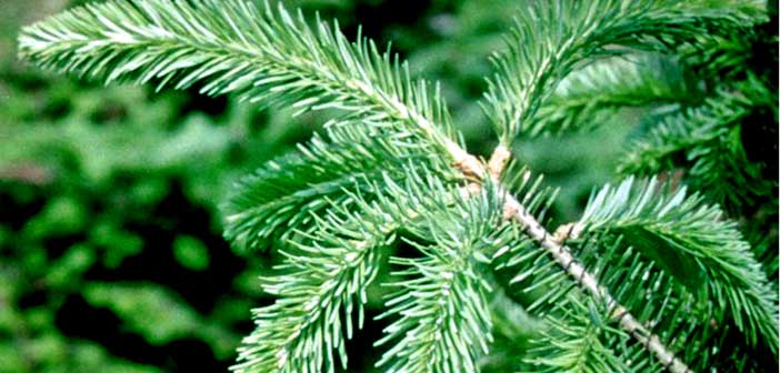 A guide to Christmas tree type, selection, care and cleanup