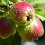 Make the right selection before planting fruit trees this fall | FRONT-YARD FARMER