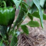Mulch your vegetables for healthy plants, fewer weeds and bigger yields | FRONT-YARD FARMER
