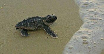 loggerhead turtle niceville fl