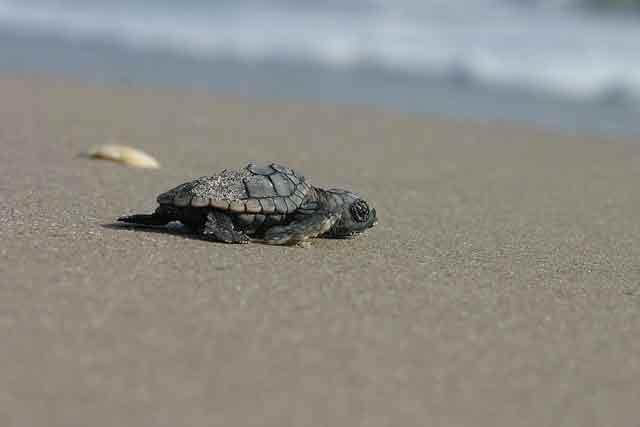 sea turtle hatchling niceville