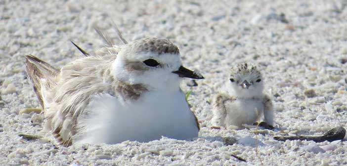 snowy plover mother and chick northwest fla niceville