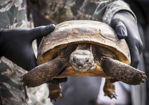 eglin jackson guard tortise