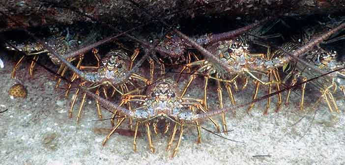 Florida spiny Lobster Battalion Taken at Coral Cove Park
