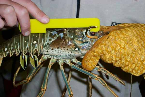 florida spiny lobster measure