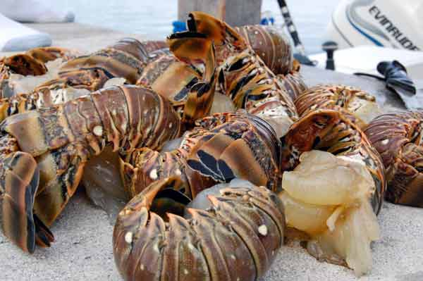 Florida spiny Lobster tails