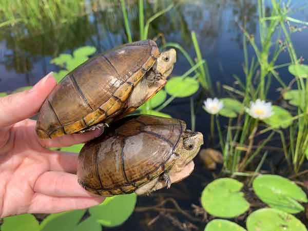 fl mud turtles in hand