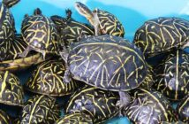 florida box turtles