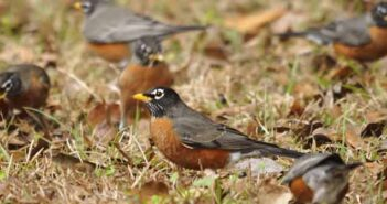 robins spring arrival