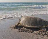 FWC: keep beaches dark, clean for sea turtles
