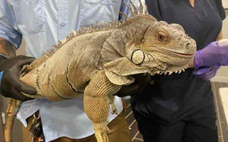 green iguana being microchipped